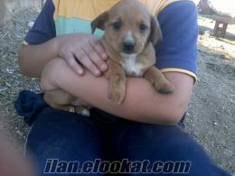 izmir tire sahibinden satılık fino köpekleri