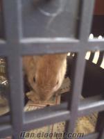 Ankarada satılık evcil tavşan