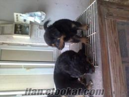 istanbul kagıthanede satılık rotvaydır yavruları annesi polis köpeyidir