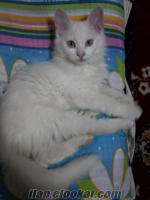 beyaz ankara kedisine dişi eş