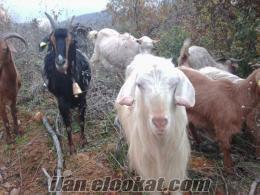 28 adet maltız keçi Sürüsü