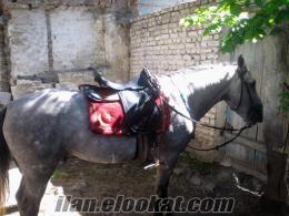 Erzurumda satılık rehvan atlar