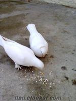 kalite oyun kuşları