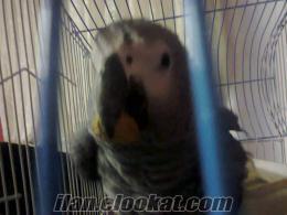 satılık jako papagan sera