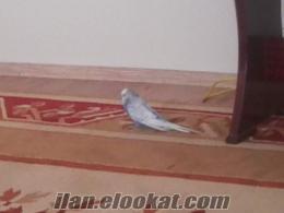 satılık ingiliz muhabbet kuşu