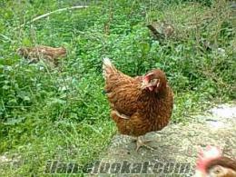 yumurtalık tavuk ve etlik tavuk civciv satışı