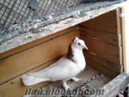 Akhisarda satılık güvercin