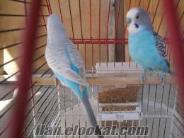 satılık yavrulu muhabbet kuşları