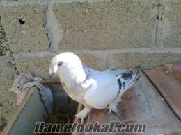 sahibinden satılık sabuni güvercin