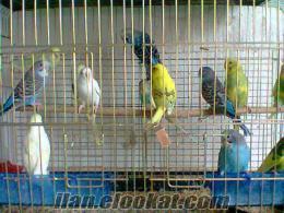 satlık muhabbet kuşu