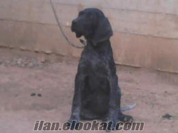 siyah kafalı siyah kırçıllı dişi kurzhaar satılık
