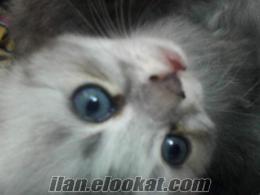çhinchilla yavru kediler