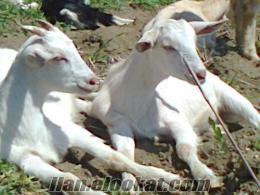 Çanakkalede sahibinden ACİL satılık 45 tane oğlaklı saanen keçi