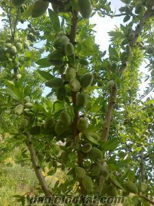 manisada satılık 190 dönüm zeytin arazisi
