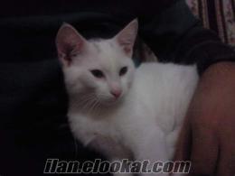 ankarada sahibinden satılık van kedisi beyaz