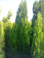 süs bitkisi( altuni piramit mazı) üreticiden
