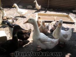 yumurtlayan pekin ördekleri