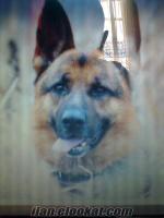 ist kagıthanede k9 polis köpeyi 1.5 yaş