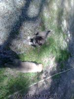 Satılık safkan Kangal Yavruları