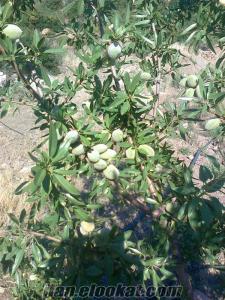 manisa muradiyede 190 dönüm zeytin bahçesi