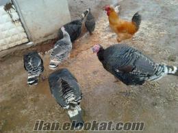 satılık siyah köy hindi yumurtası TUZLA/İSTANBUL