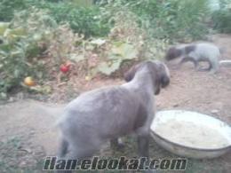 uşak eşmede satılık kurzhaar yavruları