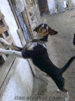 adanada satılık av köpekleri