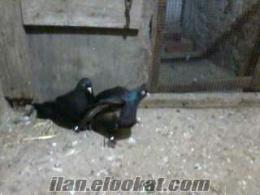 Aydın Sazlıköyde satılık güvercin