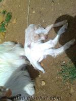 Uşak Eşme oğlaklı keçi