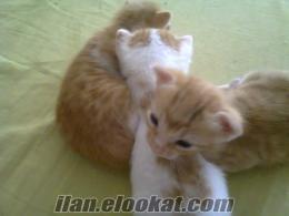 antalyadan sahibinden ücretsiz kedi yavruları