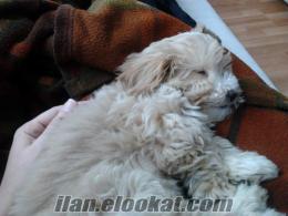 İzmit Yahyakaptanda sahibinden 5 aylık poodle cinsi köpek