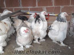 Her Cins Süs Tavuğu Yumurtaları