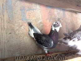 Bursadan satılık Adana güvercini