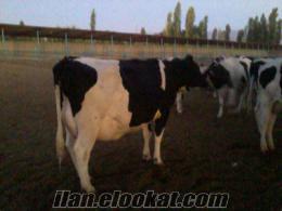 8 aylık gebe düve ve inekler 25 ve 30 kg süt garantilidir vermektedir