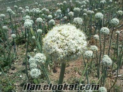 soğan tohumu