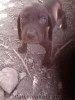 mersinde sahibinden satılık av köpeği