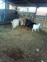 satılık maltız keçi- izmir