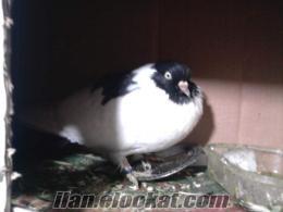 kelebek güvercin siyah başlı