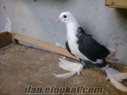 adanada sahibinden satık malatya paçalı güvercinler