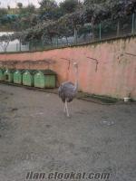 satılık deve kuşu