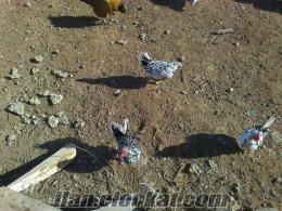 Kırıkkale İspenç Karyağdı horoz ve tavuk