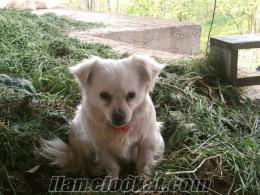 Trabzondan sahibinden satılık yavru fino köpeği erkek