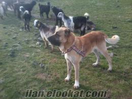 satılık kangal ve koyun köpeği
