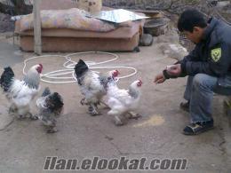 satlık brakman tavuk ve horoz yumurta