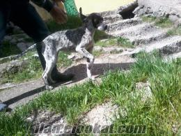 kütahyadan satılık pointer av köpeği