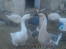 AFYON DÖĞER kasabası süs tavukları ve çin kazları