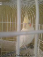 Adapazarında sultan papağanı