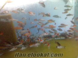 koi balığı fiyatı (safkan koi balığı)