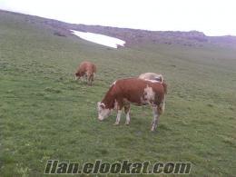 van muradiyede sahibinden satılık simental inekler