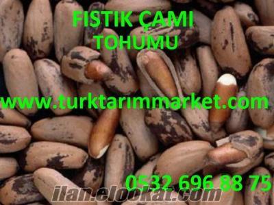 Fıstık çamı tohumu fiyatı, Fıstık çamı tohumu fiyatları, Fıstık çamı tohumu ek